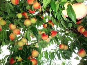 Cultivo do pêssego, uma das características da fase áurea.