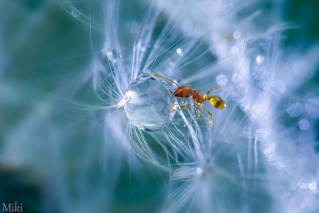 Foto do fotógrafo japonês Miki Asai. Usando lentes de extrema potência ele foi desvendar a beleza de um mundo microscópico em seu jardim.