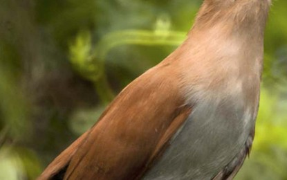 """Projeto da câmara torna o """"alma de gato"""" o pássaro símbolo de Angatuba"""